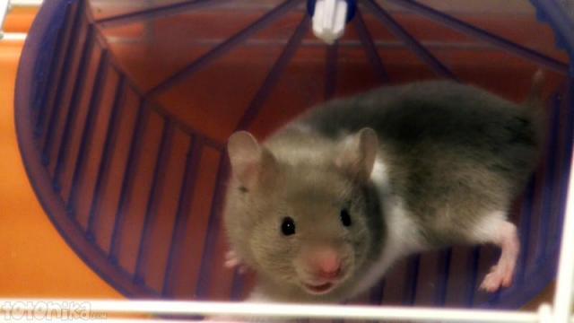 Baby hamster smile in wheel
