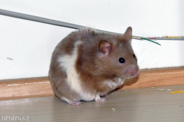 hamster eats cable
