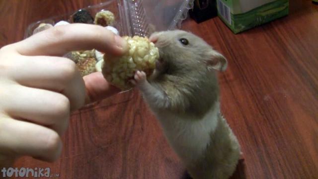hamster eats halloween sweets, panellets
