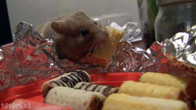hamster eats halloween sweets, hueso de santo