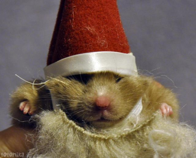 Hamster santa claus