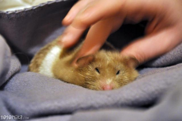 hamster getting a massage