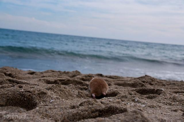 Hamster at the beach