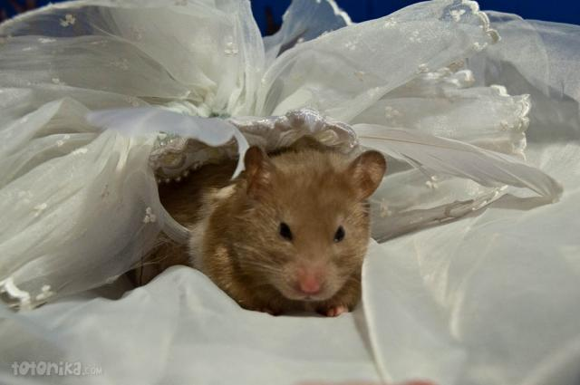 hamster bride