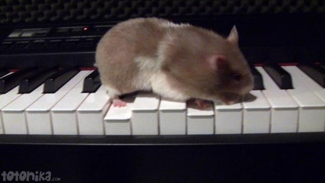 hamster playing piano